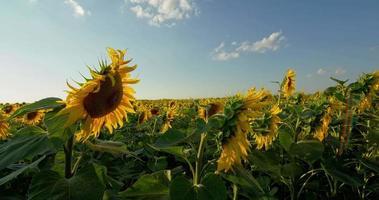 Zeitraffer mit blühenden Sonnenblumen auf einem Hintergrundsonnenuntergang, motorisierter Schieber rohe hdr