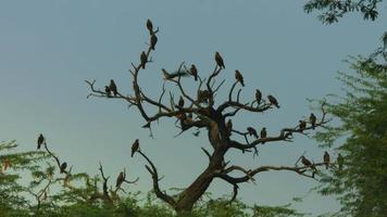 Disparo bloqueado de bandada de águilas en el árbol, el parque zoológico nacional, Delhi, India