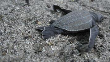 Close-up of three leatherback turtle crawling on the beach, Trinidad, Trinidad and Tobago