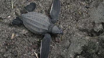 Directly above of leatherback turtle crawling on the beach, Trinidad, Trinidad and Tobago