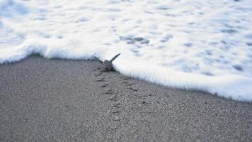 Sea turtle hatchling scuttles down beach and into sea, Trinidad, Trinidad and Tobago