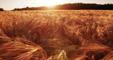 Weizenstiele fangen goldene Strahlen des Sonnenuntergangs video
