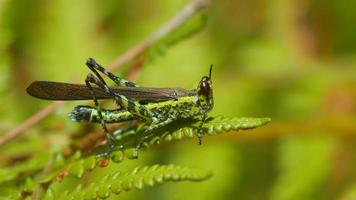 monkey grasshopper eating young fern shoot