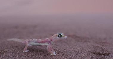 Colpo grandangolare 4 k di geco palmato / web footed nell'habitat del deserto