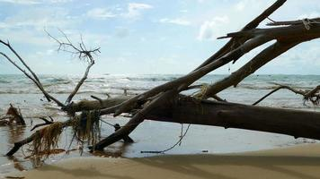 en la temporada de lluvias, las grandes olas del océano destruyen y matan los pinos.