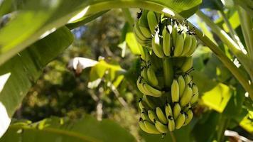bananas video