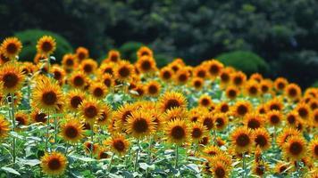 campi di girasole che ballano nella soleggiata giornata estiva