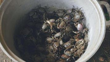 Mud crabs caught in rice fields into a bucket