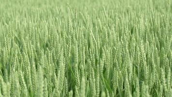 Close-up of a green wheat field