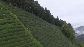 plantações de chá e o mar de nuvens a video
