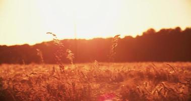ruhiges Weizenfeld mit buntem Sonnenlicht bei Sonnenuntergang video