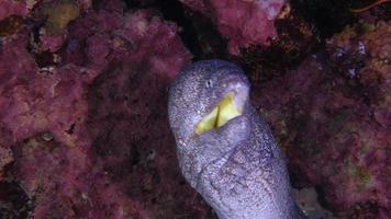 anguila morena video