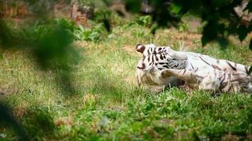 White tigress and cub.