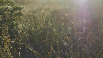 Dew on grass stems and bokeh background