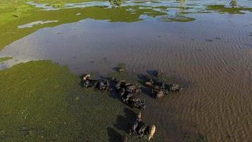 Los búfalos viven en pantanos y se alimentan del buceo.