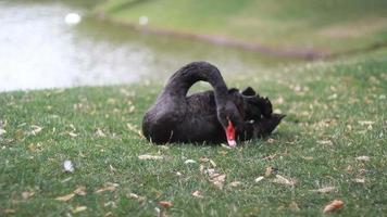 cigno nero sul lago nel parco pubblico