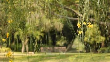 Flores amarillas de Jerusalén Thorn Tree con banco en el fondo del parque público video