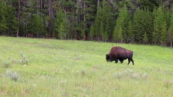 Bison im Feld