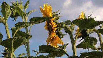 Sonnenblumen im landwirtschaftlichen Bereich