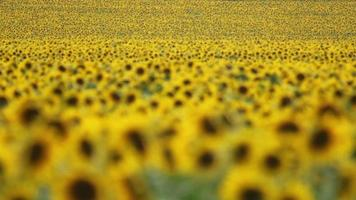 Flowering sunflowers on agriculture field