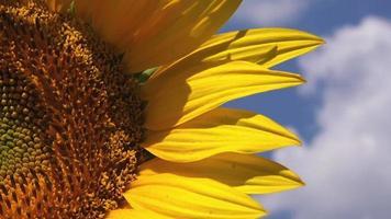 schöne Sonnenblume im landwirtschaftlichen Bereich