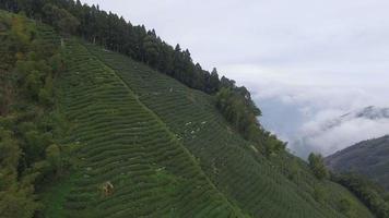 plantações de chá e o mar de nuvens b video