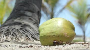 Coconut Falling to Ground