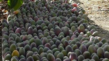 Mango tropical fruit in a plantation of tropical fruit trees video