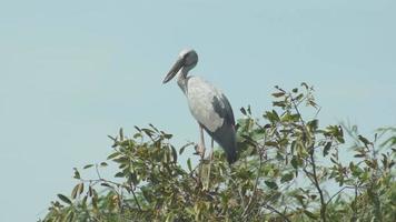pájaro asiático de la cigüeña de pico abierto.