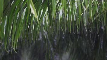 água da chuva pingando das folhas das árvores. qual som