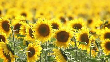 Girasoles en flor en el campo de la agricultura video