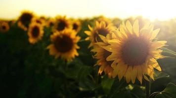 landwirtschaftliches Sonnenblumenfeld im Sonnenuntergang.