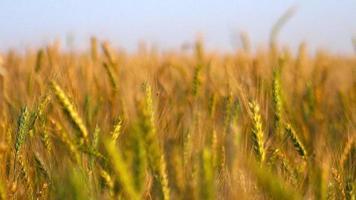 Agrarlandschaft mit Weizenfeld video