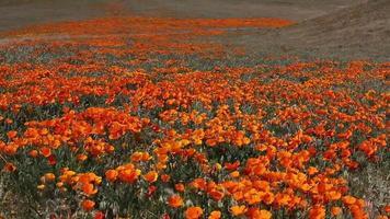 hermoso campo de amapolas