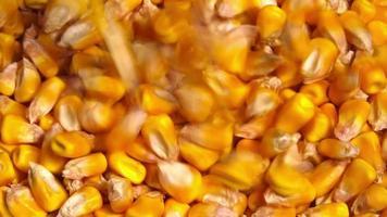 raccolto di colture agricole di semi di mais