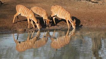 Nyala antelopes drinking video