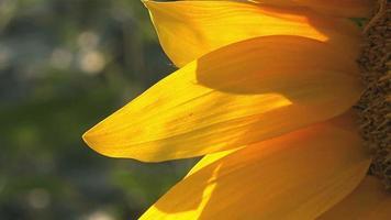 Sonnenblumendetail vom landwirtschaftlichen Feld
