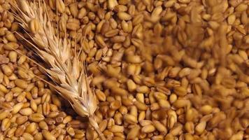 colheita agrícola de grãos de trigo