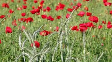 stagione primaverile di agricoltura di grano verde