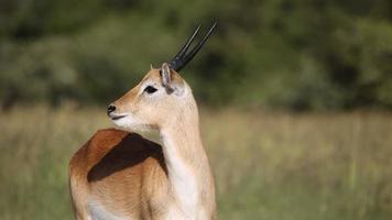 rote Lechwe-Antilope