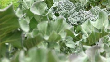 Fresh salad in agriculture field video
