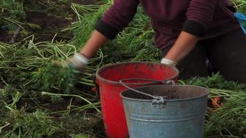 agricoltura: lavori sul campo di carote video