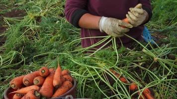agricoltura: lavorare sul campo di carote video