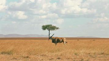 Eland antelope, Masai Mara video