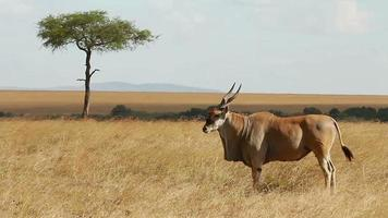 Eland Antilope, Masai Mara