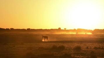 impala del atardecer de áfrica