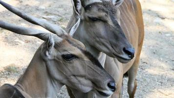 Gazelle eating video