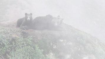 orso bruno nella nebbia video