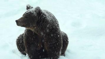 o urso senta