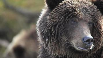 Bärenporträt